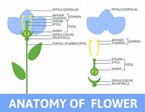 Detail Of Anatomy Flower