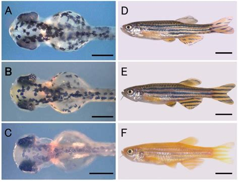 zebrafish nuclear transplant  donor  recipient