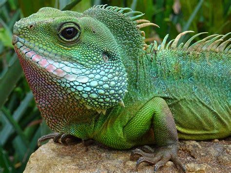 green chameleon  stock photo