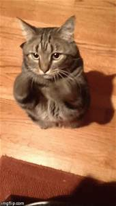 My brother's cat Boris begging(?) [gif] | Cute Overloaded