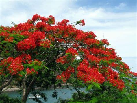 flamboyant delonix regia poinciana regia planter cultiver