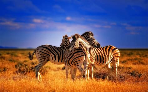 Colourful Animal Wallpaper - beautiful colorful animals zebras hd wallpaper