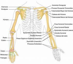 File Human Arm Bones Diagram-es Svg