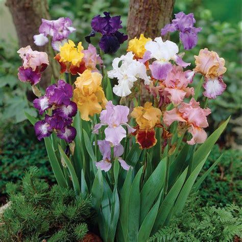 bearded irises bearded iris plants i love pinterest