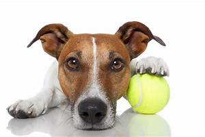 Indoor Exercises for Your Jack Russell Terrier - Happy ...