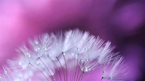 Dandelion Flower Wallpaper Flying In The Beautiful Wind