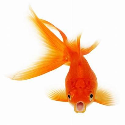 Fish Transparent Clipart Clip Library Koi Goldfish