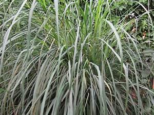 Pflanzen Pflegeleicht Garten : zitronengras anbauen das asiatische kraut im eigenen ~ Lizthompson.info Haus und Dekorationen