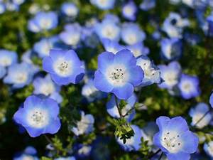 Blue Flowers Blue Flowers For Your Garden Saga - Quality Dogs