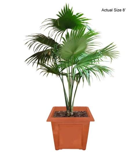 planting fan palm trees chinese fan palm tree chinese fountain palm livistona