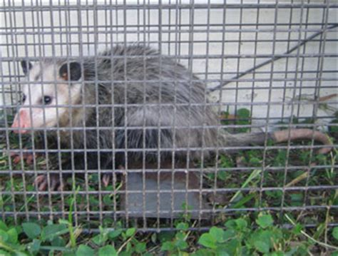 dallas opossum removal opossum control trapping  fort