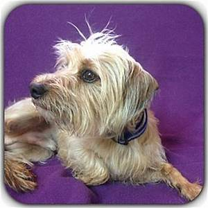 Andy Jacob   Adopted Dog   Hollywood, FL   Yorkie ...