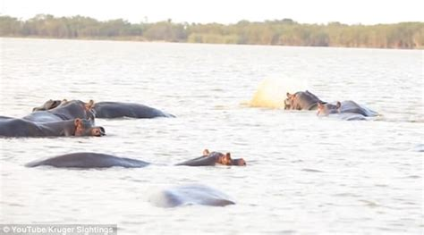 Hippo Chases Boat Underwater by Bull Shark Takes On A Herd Of Hippos In South Africa