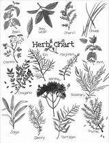 Herbs Coloring Pages Herb Dummies Drawings Colonial Getting Know Botanical Tattoo Adult Witch Basil Dried Felicity Chart Dandelion Rosemary Illustration sketch template