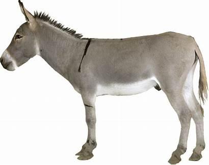 Donkey Grey Standing Transparent Animals Pngimg Animal
