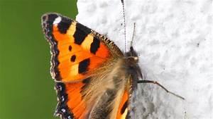 Bedeutung Schmetterling In Der Wohnung : von der raupe zum schmetterling kleiner fuchs youtube ~ Watch28wear.com Haus und Dekorationen