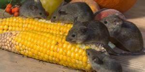 Comment Chasser Les Mouches : comment faire du poison pour rat fait maison 6 tapes ~ Melissatoandfro.com Idées de Décoration