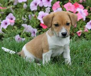 Darling Jack Russell/Pocket Beagle Mix Puppies | craigspets