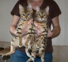 bengal cat breeders asia and africa bengal kittens for offers
