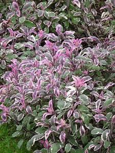 La Sauge Plante : salvia officinalis 39 tricolor 39 une sauge pour voir la vie en rose plantes que j 39 aime plants ~ Melissatoandfro.com Idées de Décoration