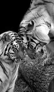Tiger Love Photograph by Stephanie McDowell