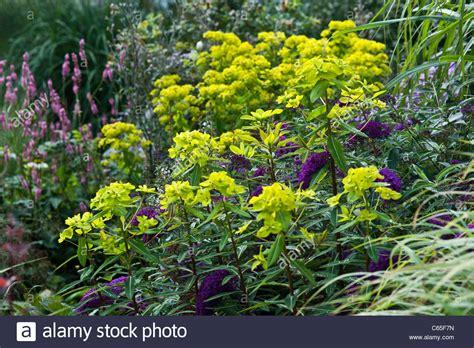 euphorbia perennial spurge euphorbia donii amjilassa summer flower perennial lime green stock photo royalty free