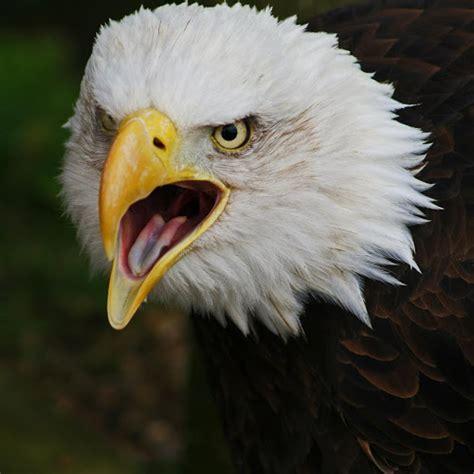 gambar  lebih foto burung elang keren gambar lukisan