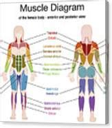 All the major muscle groups of the body from front and back. Muscle Diagram Female Body Names Digital Art by Peter ...