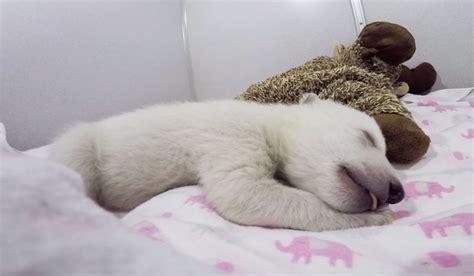 abandoned baby polar bear sleeping   stuffed animal