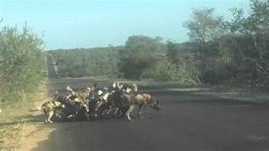 Kruger National Park Wild Dogs Kill Kudu (For licensing or ...