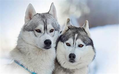 Huskies Wallpapers Alaskan Malamutes Portrait