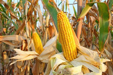 ISSER warns maize production is threatened. - Prime News Ghana
