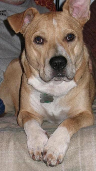 corgi bulldog mix  picture description allmuttcom