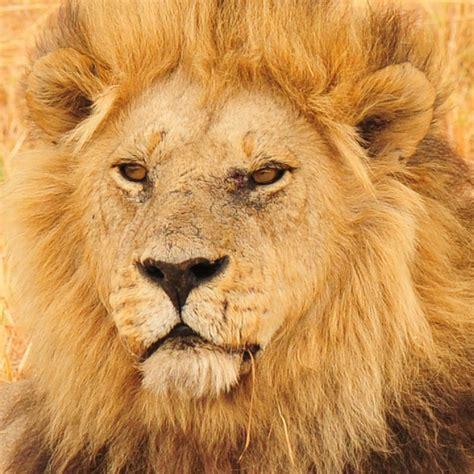 picture  safari majestic male lions  kwara