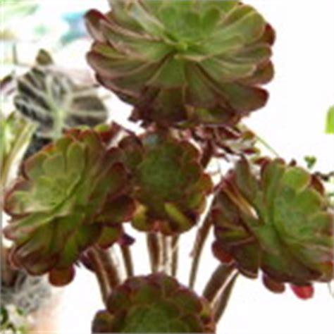 Zimmerpflanze Rote Blätter by Kaliebes Blumenhaus Zimmerpflanzen