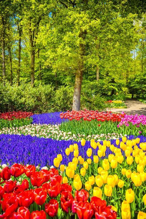 tulip flower garden free stock tree and tulip flowers in spring garden keukenhof netherlands stock image image of blooming