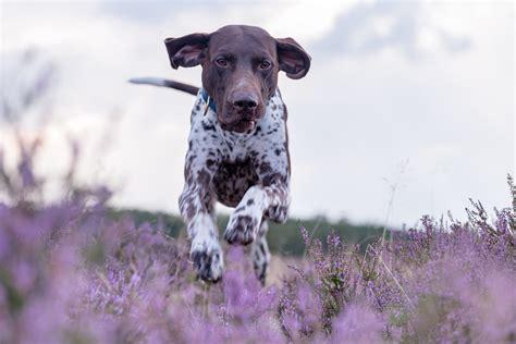 kurtshaar german pointer german shorthair pointer dog walk