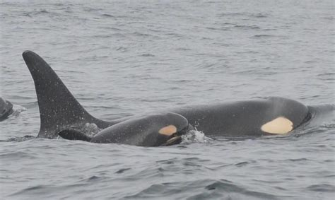a third baby orca and its family are headed this way