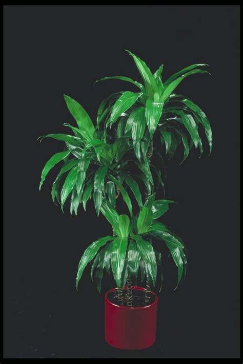 dracaena ulyssus dracaena granford