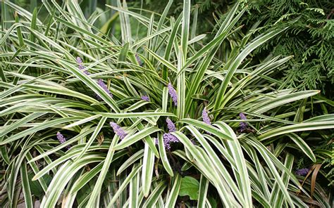 grass plants for landscaping grass plants lehigh acres