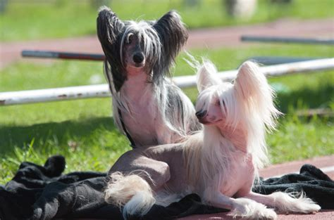 Non Shed Breeds by Top 10 Non Shedding Breeds
