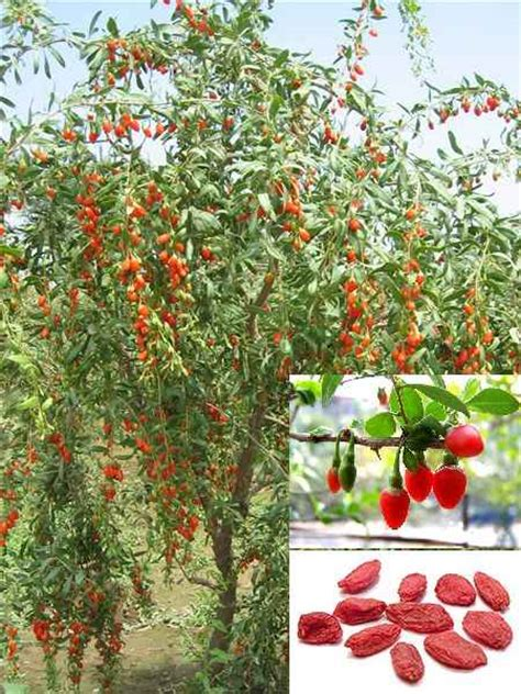 Goji berry plant pictures