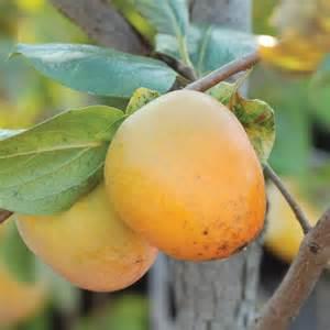 American Persimmon Tree Fruit