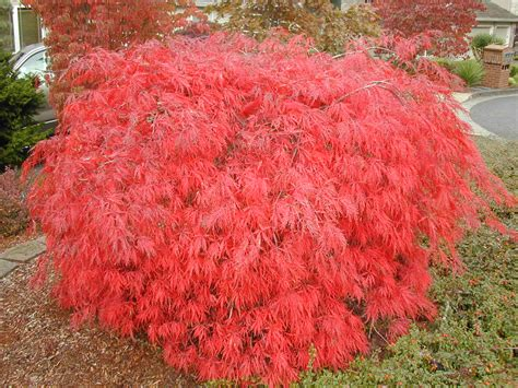 maples for all seasons maples for all seasons online store nursery and arborists specializing in japanese maples
