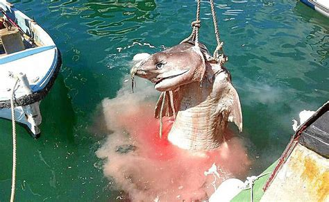 encuentran  tiburon durmiente muerto en aguas del port