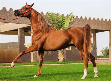 horse arabian breeds most horses expensive characteristics distinctive demand due