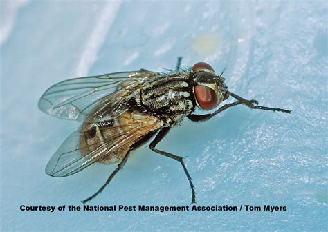 House & Fruit Fly Facts For Kids  What Do Flies Eat?
