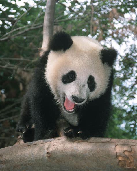 enduring conservation legacy  san diego zoo panda