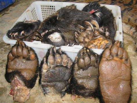 tiger meat bear paws openly   laos ngo