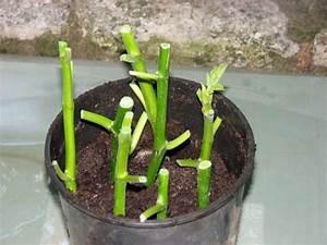 Bouture Plante Verte : boutures herbac es de figuier en t l 39 touff e pendant au moins 6 semaines l 39 ombre ~ Melissatoandfro.com Idées de Décoration